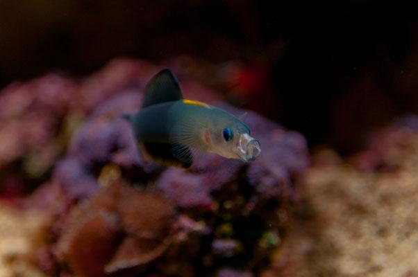 Scherenschwanz-Torpedogrundel Fisch einem gelben Streifen am Rücken und blauen Augenrändern