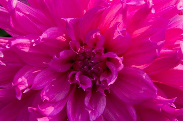 Lila purpure dekorative Dahlie Chrysanthemum Gartenchrysantheme Gartenpflanze Zierpflanze Großblütige Dahlien
