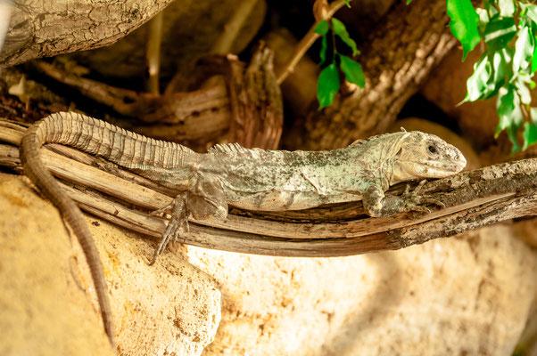 Utila-Leguan - Eidechsen-Art von den Inseln Utila in der Karibik vor Honduras