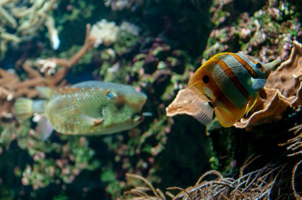 Streifenpinzettfisch und der Gelber Kofferfisch im Hintergrund