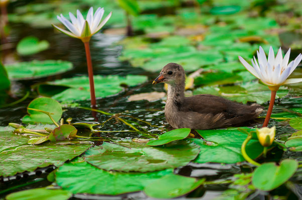 Kleines Entlein Entenküken Ente Entlein zwischen zwei wunderschönen weiße Wasserrosen Schwimmvogel mit Schnabel Entenvogel