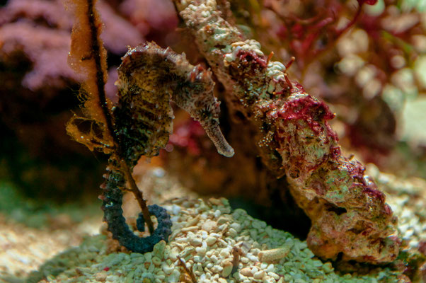 Langschnauzenseepferdchen im Meerwasser-Aquarium hält sich ein einem Pflanzenstängel fest