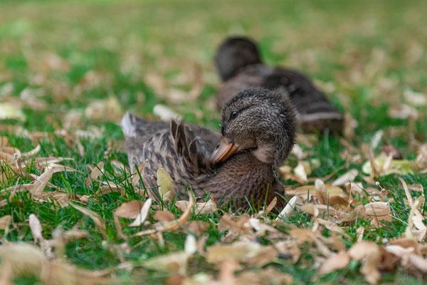 Junge Enten