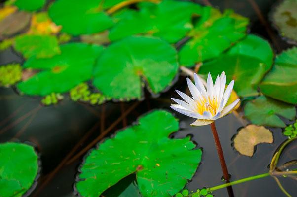 Weise Seerose mit einem gelben Grund Wasserpflanze Gartenteich Teichpflanze Gartenteichpflanze Wasserrose Wasserblätter