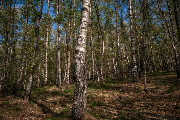 Birkenwald von Daaden