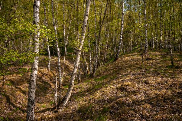Birken im Wald von Daaden