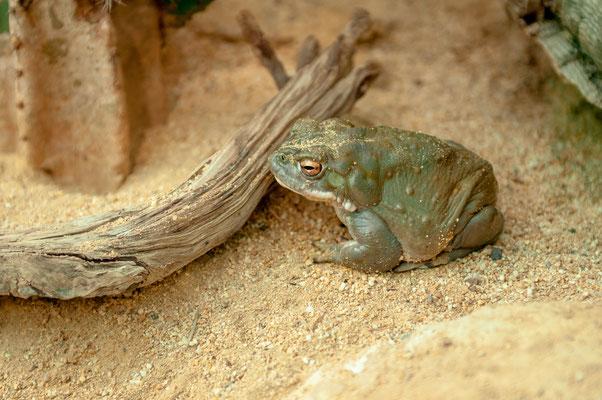 Sonorakröte aus Sonora-Wüste in Arizona und Nordmexiko