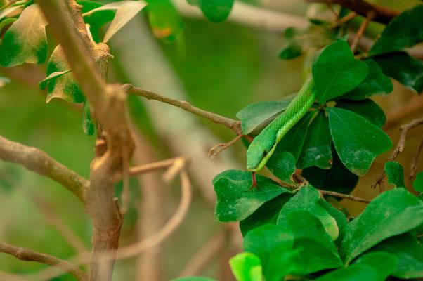 Südamerikanische Langnasen-Strauchnatter eine Schlangenart aus Nord-Argentinien, Bolivien und Paraguay