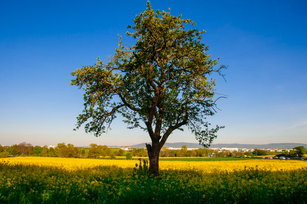 Einsamer Apfelbaum mitten in einem Rapsfeld einer Großstaft Frankfurt am Main