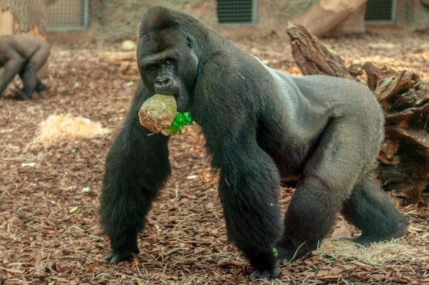 Silberrücken Gorilla mit einem Stück Gemüse im Maul