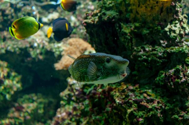 Gelber Kofferfisch aus den tropischen Gewässern Indopazifik