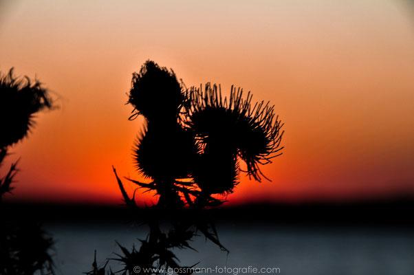 Der Sonnenuntergang mit Augen einer Distel