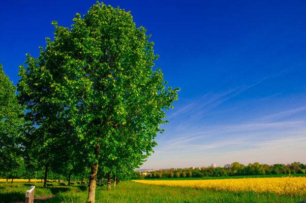 Lindenbaum in ihrem vollen Glanz in einer idyllischen Landschaft neben einem Rapsfeld in einer Großstadt Frankfurt am Main