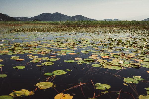 Ein Teppich aus Wasserrosen verteilt über dem ganzen Skadarsee in Montenegro