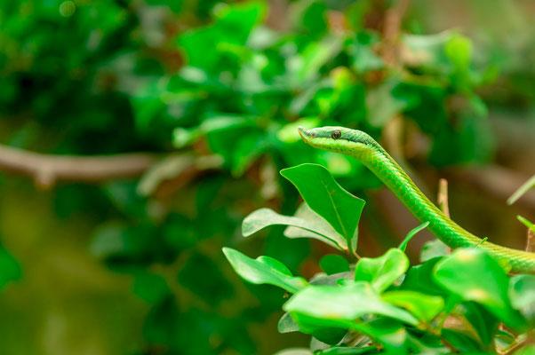 Südamerikanische Langnasen-Strauchnatter auf Nahrungssuche - eine Schlangenart aus Bolivien und Paraguay