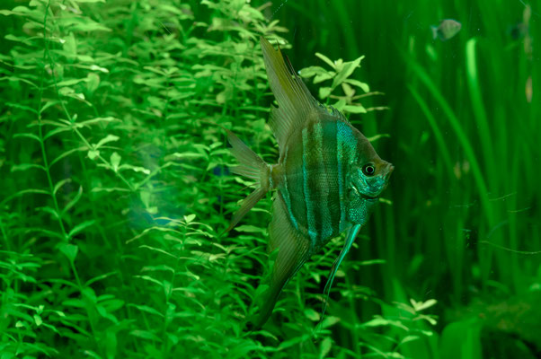 Hoher Skalar Fisch mit ziemlich plattem Körper und hell-blau gestreift