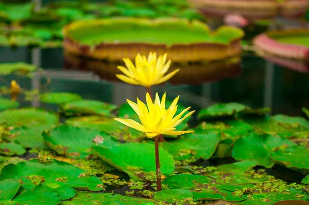 Gelbe Teichrose Seerose Teichmummel Mummel Teichmummel Teichkandel Nuphar luteum Seerosengewächse Wasserpflanze Wasserblume Wasserrose