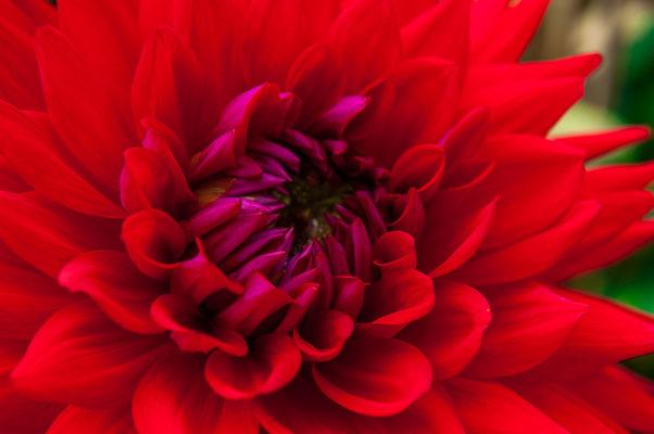 Rote Dahlie mit lila Mitte Chrysanthemum Gartenchrysantheme Gartenpflanze Zierpflanze Großblütige Dahlien dekorative