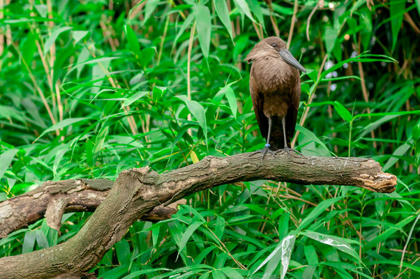 Hammerkopf einer Vogel-Art aus dem Süd- und Zentral-Afrika