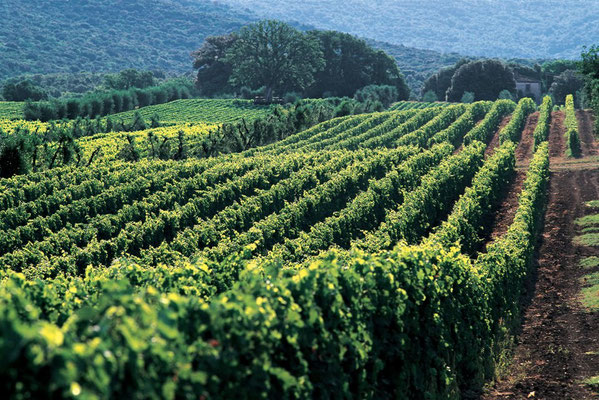 Vineyards- Vignobles