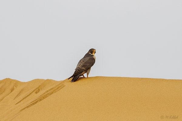 Namibia: Wanderfalke