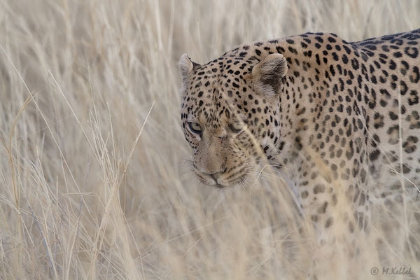 Namibia: Leopard