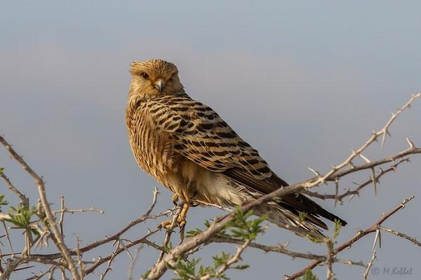 Namibia: Steppenfalke
