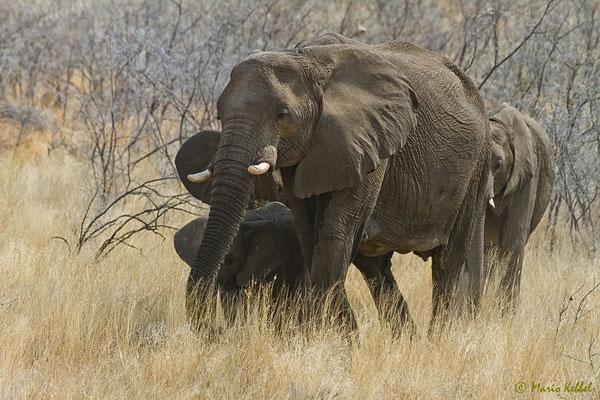 Elefanten-Familie