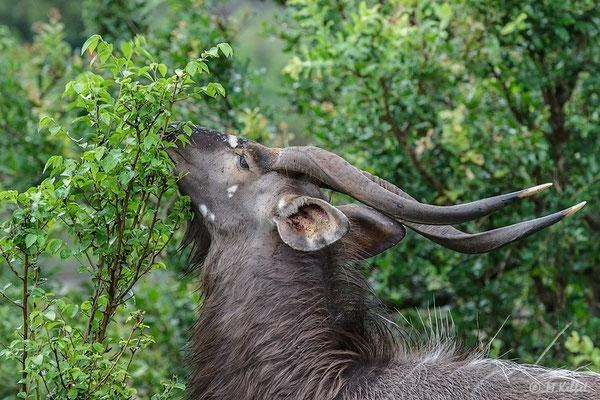 Südafrika: Nyala