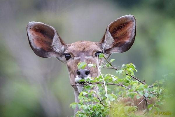 Südafrika: Großer Kudu