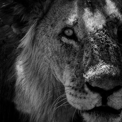 Tansania: Löwe - Portrait