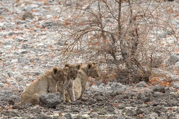 Namibia: Löwennachwuchs