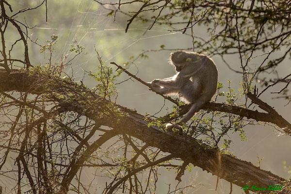 Südafrika: Grünmeerkatze - Im Schlaf