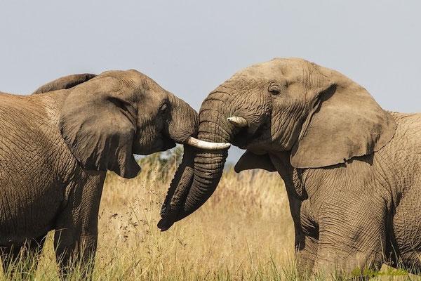Südafrika: Elefant - Kräftemessen von jungen Elefantenbullen