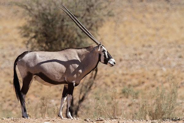 Namibia: Oryx-Antilope