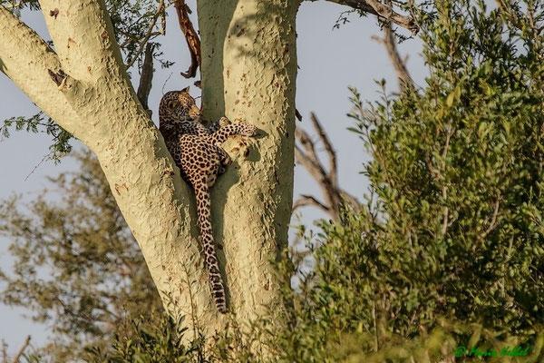 Südafrika: Leopard - Ruhepause im Gelbfieberbaum
