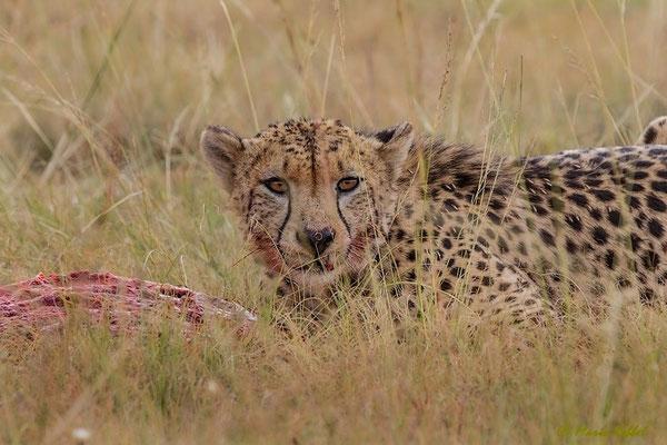 Südafrika: Gepard - Beim Fressen