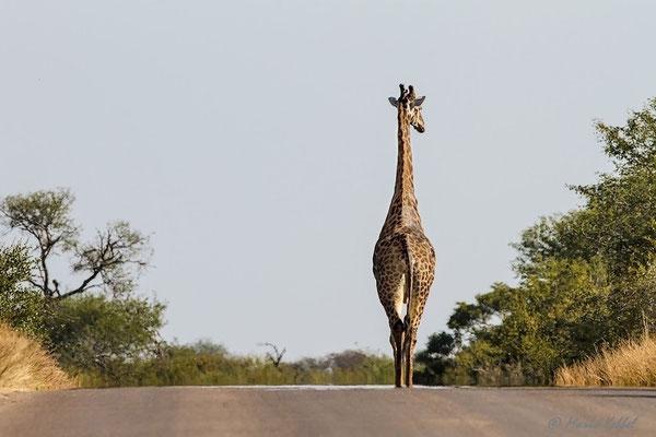 Südafrika: Giraffe - Leichter Marsch