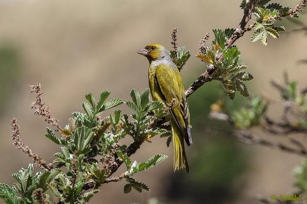 Südafrika: Webervogel
