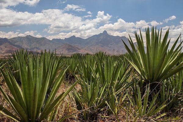 Udzungwa Berge mit Sisal Pflanzen
