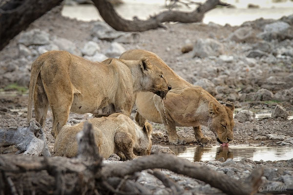 Namibia: Löwen