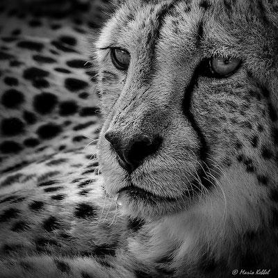 """Südafrika: Gepard - """"Face to Face"""""""