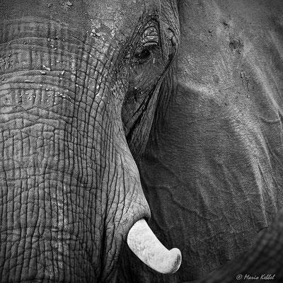 Südafrika: Elefant - Portrait