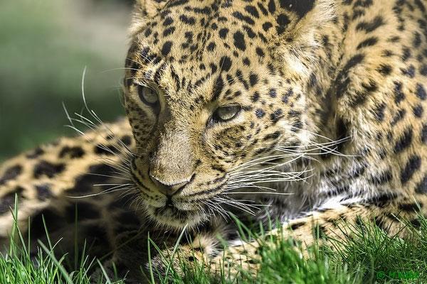 Südafrika: Leopard