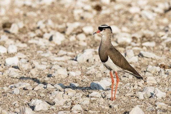 Namibia: Kronenkiebitz