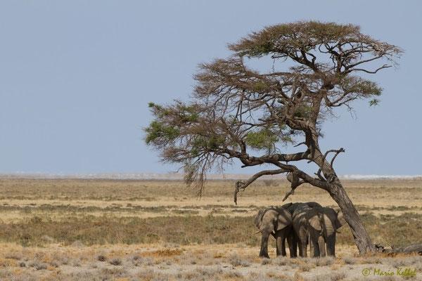 Sonnenschutz suchende Elefanten