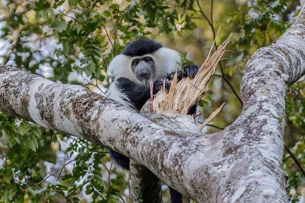 Tansania: Schwarz-Weiß Colobus