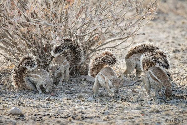 Namibia: Gruppe von Borstenhörnchen