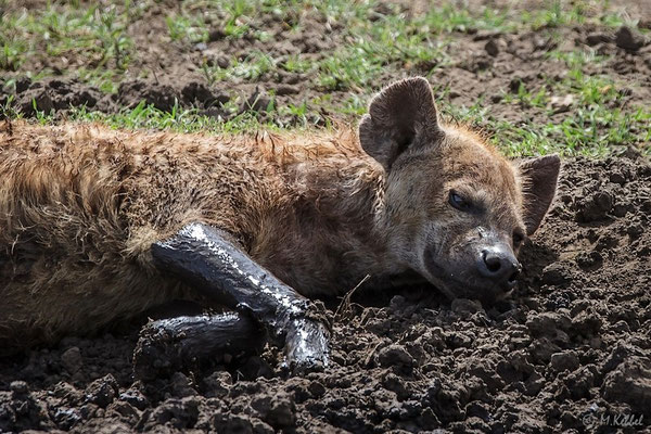 Tansania: Tüpfelhyäne