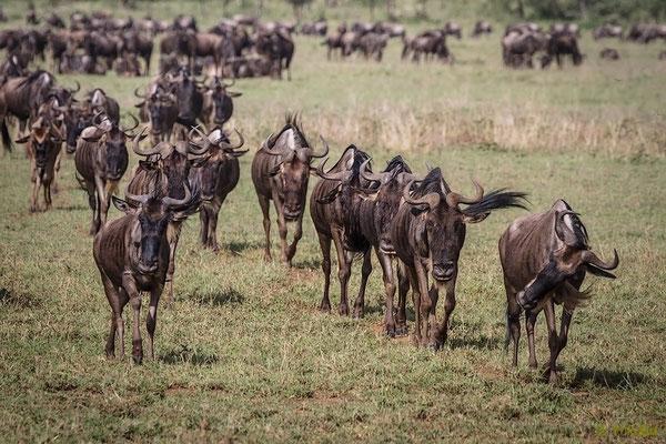 Tansania: Streifengnu